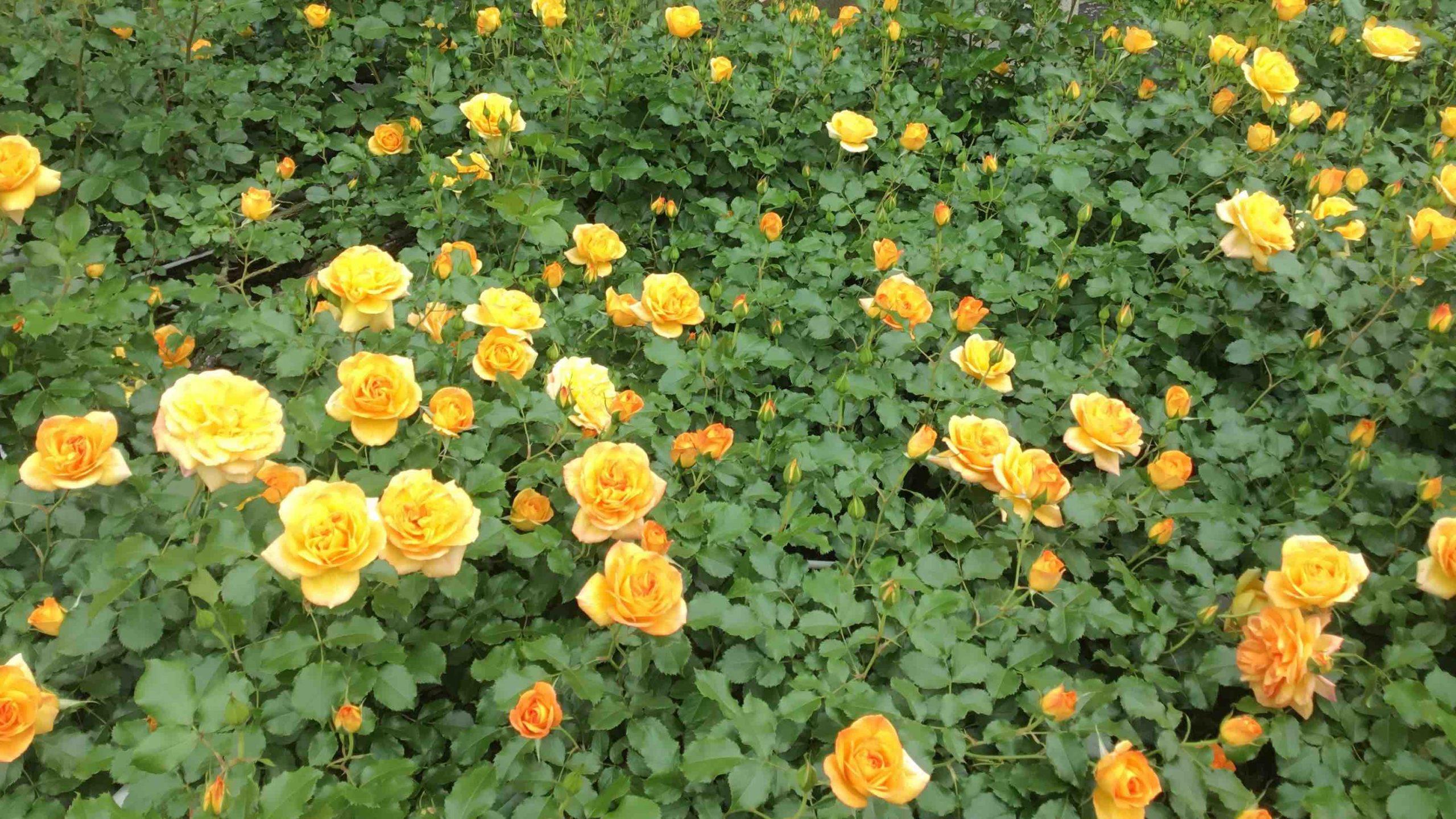 roses-yellow